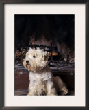 West Highland Terrier / Westie Sitting in Front of a Fireplace Print by Adriano Bacchella