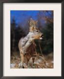 Roe Deer with Velvet Antlers (Capreolus Capreolus) Europe Posters by  Reinhard