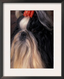 Shih Tzu with Hair Tied Up Print by Adriano Bacchella