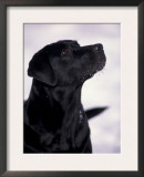 Black Labrador Retriever Looking Up Prints by Adriano Bacchella