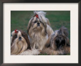 Domestic Dogs, Three Shih Tzus Sitting or Lying on Grass with Their Hair Tied Up Posters by Adriano Bacchella