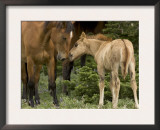 Mustang / Wild Horse Filly Nosing Stallion, Montana, USA Pryor Mountains Hma Prints by Carol Walker