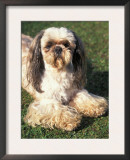 Shih Tzu Lying on Grass with Facial Hair Cut Short and Showing Hairy Paws Poster by Adriano Bacchella