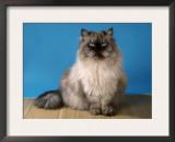 Colorpoint Persian Cat Prints by Petra Wegner