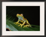 Glass Frog with Eggs Visible Through Skin, Ecuador, South America Print by Pete Oxford