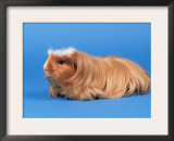 Satin Gold American Crested Coronet Guinea Pig Art by Petra Wegner