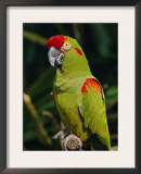 Red Fronted Macaw Portrait Prints by Lynn M. Stone