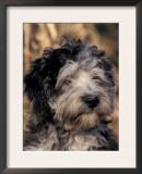 Pyrenean Sheepdog Puppy Portrait Print by Adriano Bacchella