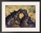 Hippopotamus Play Fighting, Moremi Nr, Botswana Prints by Tony Heald