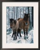 Domestic Horse, Dulmen Ponies, Mare with Foal in Winter, Europe Art by  Reinhard