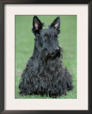 Scottish Terrier Prints by De Meester