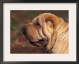 Shar Pei Portrait Showing Wrinkles on Head and Neck Posters by Adriano Bacchella
