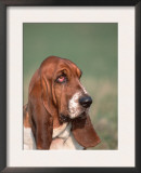 Head Portrait of Basset Hound Print by Petra Wegner