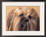 Lhasa Apso Face Portrait with Hair Plaited Prints by Adriano Bacchella