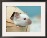 White Mouse at Play Print by Petra Wegner