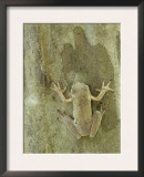 Mexican Treefrog Camouflaged on Tree Bark, Texas, USA Poster by Rolf Nussbaumer