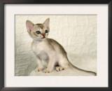 Singapura Kitten Poster by Petra Wegner