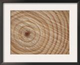 Growth Rings in Trunk of Spruce Tree, Norway Prints by Pete Cairns