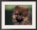 German Spitz (Klein) Puppy Portrait Poster by Adriano Bacchella