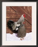 Silver Pencilled Wyandotte Domestic Chicken Pair, in Snow, USA Posters by Lynn M. Stone