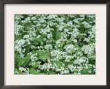 Wild Garlic / Ransoms, Flowers with Solitary Bluebell, Wiltshire, UK Art by James Aldred
