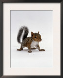 Baby Grey Squirrel, Portrait Posters by Jane Burton