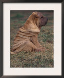 Shar Pei Puppy Sitting on Grass, Showing Skin Wrinkling on Back Art by Adriano Bacchella