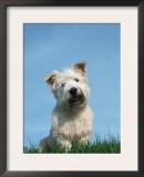 Head Portrait of Irish Glen of Imaal Terrier Dog Prints by Petra Wegner