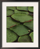 Royal Water Lily Leaves, World's Largest Lily, Brazil Posters by Staffan Widstrand