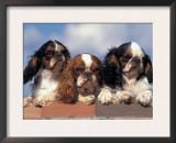 Three King Charles Cavalier Spaniel Adults on Wall Print by Adriano Bacchella