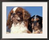 Two King Charles Cavalier Spaniel Adults Prints by Adriano Bacchella
