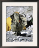 Yak in Tibet Print by Michael Brown