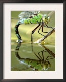 Female Emperor Dragonfly (Anax Imperator) Laying Eggs at the Edge of a Pond, Cornwall, UK Poster by Ross Hoddinott