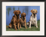 Three Golden Retrievers, USA Print by Lynn M. Stone