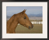Chestnut Arabian Gelding Head Profile, Boulder, Colorado, USA Posters by Carol Walker