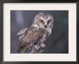 Northern Saw-Whet Owl, Alaska, Us Posters by Lynn M. Stone