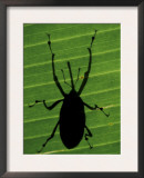 Weevil Silhouette Through Leaf, Sulawesi, Indonesia Poster by Solvin Zankl