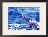 Leaping Clymene Dolphins, Gulf of Mexico, Atlantic Ocean Prints by Todd Pusser