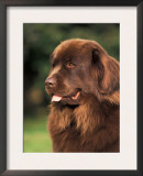 Brown Newfoundland Portrait Posters by Adriano Bacchella