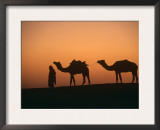 Dromedary Camels with Handler at Dawn, Rajasthan, India Poster by Ingo Arndt