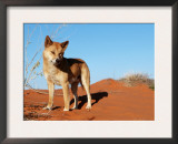 Dingo on Sand Dunes, Northern Territory, Australia Prints by  Bartussek