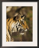 Tiger, Head Profile, Bandhavgarh National Park, India Poster by Tony Heald