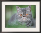 Exotic Shorthair Cat, Blue-Tabby Prints by De Meester