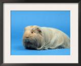 Sheltie Guinea Pig Posters by Petra Wegner