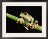 Maroon Eyed Leaf Frog, Esmeraldas, Ecuador Print by Pete Oxford