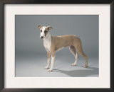 5 Month Old Whippet Prints by Petra Wegner
