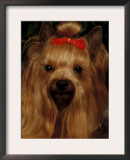 Yorkshire Terrier with Hair Tied Up Art by Adriano Bacchella
