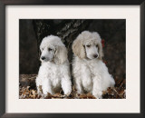 Standard Poodle Dog Puppies, USA Art by Lynn M. Stone