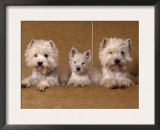 Domestic Dogs, Two West Highland Terriers / Westies with a Puppy Prints by Adriano Bacchella