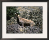 Wild Goats, Nepal Prints by Michael Brown